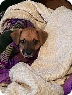 Jack Russell Terrier Mix Dog for adoption in Ponca City, Oklahoma - Hansel