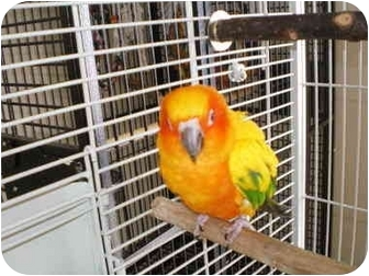 Conure for adoption in Salt Lake City, Utah - Pippin