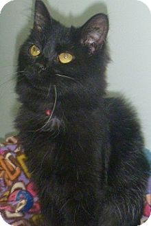 Domestic Longhair Cat for adoption in Hamburg, New York - June