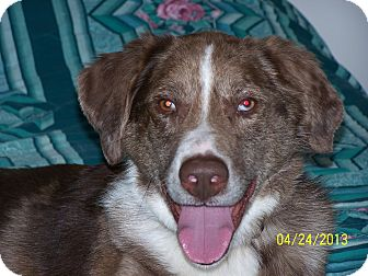 Australian Shepherd/Labrador Retriever Mix Dog for adoption in Elk River, Minnesota - Tanner