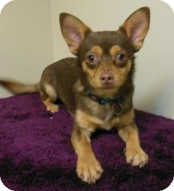 Chihuahua Mix Puppy for adoption in Gary, Indiana - Simon