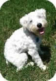 Schnauzer (Miniature)/Poodle (Miniature) Mix Dog for adoption in Boulder, Colorado - Lewis
