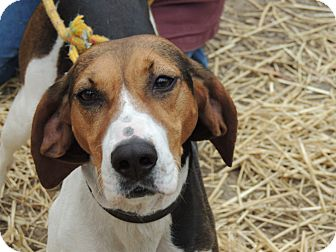 Treeing Walker Coonhound Dog for adoption in Brattleboro, Vermont - Lucy Lou