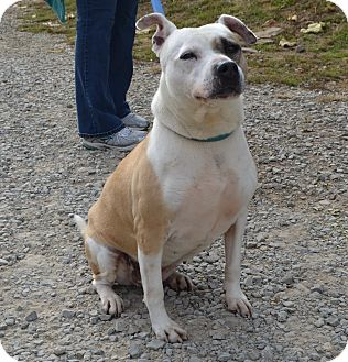 american bulldog terrier mix tia adopted dog eighty four pa american bulldog 2685
