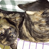 Adopt A Pet :: Coco Chanel - Richboro, PA