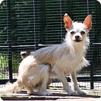 Adopt A Pet :: Pearlie Mae - Dallas, TX