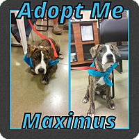Adopt A Pet :: Maximus - Cheney, KS