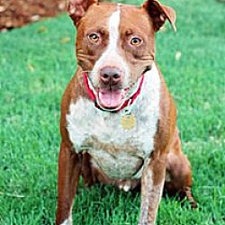 Photo 1 - Cattle Dog/Pit Bull Terrier Mix Dog for adoption in Fremont, California - Rusty D2830