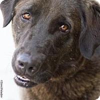 Adopt A Pet :: Daisy - Brooklyn, NY