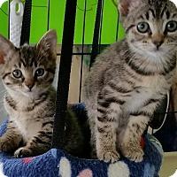 Adopt A Pet :: Ying - Burlington, WA
