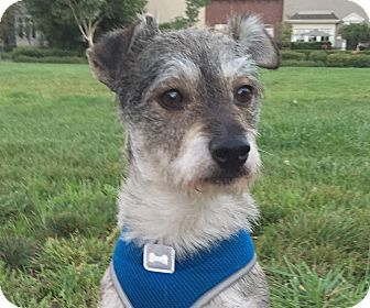 Jack Russell Terrier/Parson Russell Terrier Mix Dog for adoption in San Francisco, California - Frank