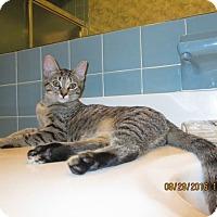 Domestic Shorthair Kitten for adoption in Middletown, Ohio - Rebel