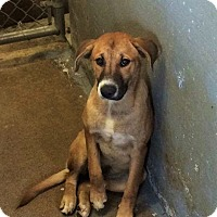Adopt A Pet :: Cheyenne - Normal, IL