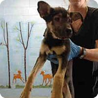 German Shepherd Dog/Shepherd (Unknown Type) Mix Puppy for adoption in San Bernardino, California - URGENT ON 10/18 San Bernardino