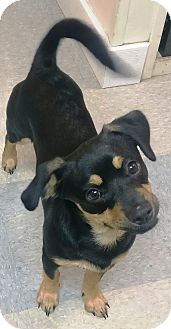 Beagle/Pug Mix Puppy for adoption in Hammonton, New Jersey - Buddy