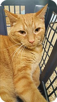 Domestic Shorthair Cat for adoption in Circleville, Ohio - Pablo