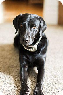 Labrador Retriever Mix Dog for adoption in Heber City, Utah - Sage