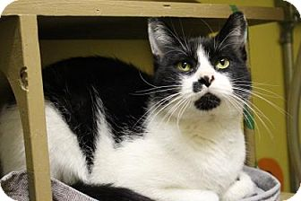 Domestic Shorthair Cat for adoption in West Des Moines, Iowa - Clark