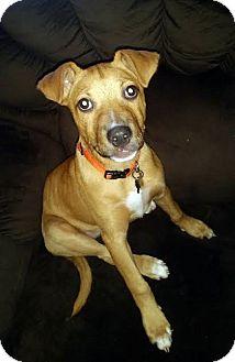 Shepherd (Unknown Type)/Terrier (Unknown Type, Medium) Mix Puppy for adoption in Detroit, Michigan - Spice-Pending!