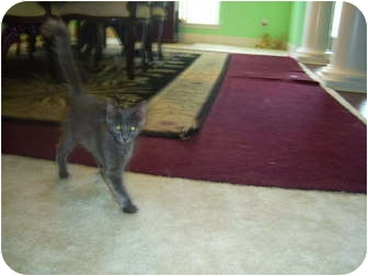 Russian Blue Cat for adoption in Mobile, Alabama - Flopsy