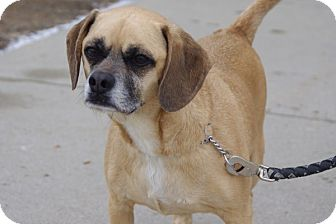 Pug/Beagle Mix Dog for adoption in Elyria, Ohio - Bailey