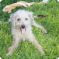 Adopt A Pet :: Molly Pup-Curly Sue - California City, CA