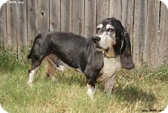 Basset Hound Dog for adoption in Norman, Oklahoma - Boomer