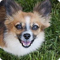 Adopt A Pet :: Miller  *Needs Foster* - Las Vegas, NV