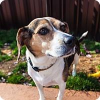 Beagle Dog for adoption in Vaudreuil-Dorion, Quebec - Cheez