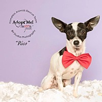 Chihuahua/Fox Terrier (Toy) Mix Dog for adoption in Houston, Texas - Rico aka Pestillito