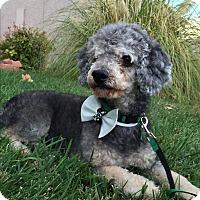 Adopt A Pet :: Pierre - Las Vegas, NV