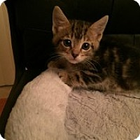 Adopt A Pet :: Pumpkin - McHenry, IL