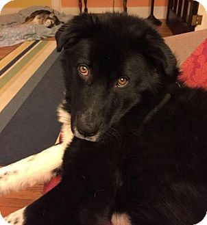 Border Collie Mix Dog for adoption in South Bend, Indiana - Poe
