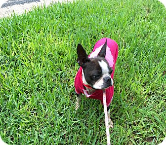 Boston Terrier Dog for adoption in Weatherford, Texas - Cora