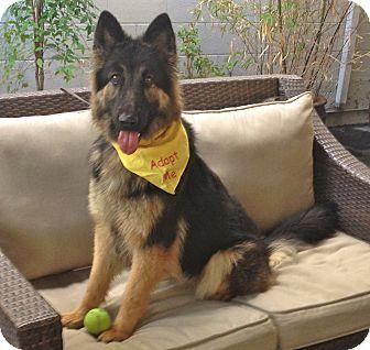 German Shepherd Dog Dog for adoption in Burbank, California - Beautiful Lexi