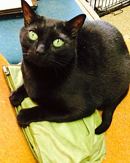 Domestic Shorthair Cat for adoption in Chattanooga, Tennessee - Cecil