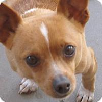 Adopt A Pet :: Rojo - El Paso, TX