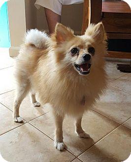 Pomeranian Dog for adoption in Delaware, Ohio - Sunny