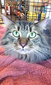 Domestic Mediumhair Cat for adoption in Fort Worth, Texas - Cuddles