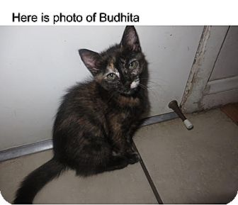 Domestic Mediumhair Cat for adoption in Beverly Hills, California - Budhita & Precious