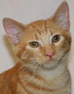 Domestic Shorthair Kitten for adoption in Savannah, Missouri - Chester