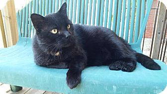 Domestic Shorthair Cat for adoption in Toronto, Ontario - Dave