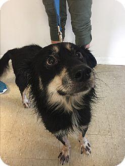 Sheltie, Shetland Sheepdog/Australian Shepherd Mix Dog for adoption in Olivet, Michigan - Elway