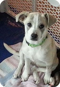 Australian Cattle Dog/Labrador Retriever Mix Puppy for adoption in Flemington, New Jersey - Brooklyn
