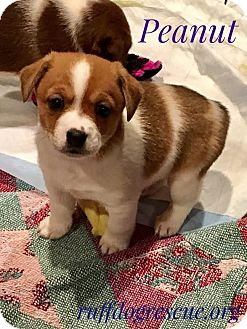 Chihuahua/Corgi Mix Puppy for adoption in Milton, Georgia - Peanut