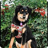 Adopt A Pet :: Finn - Richardson, TX