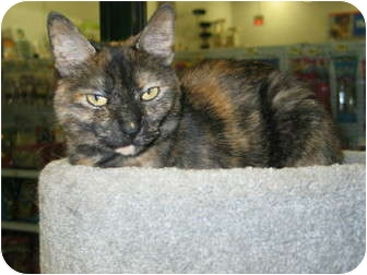 Domestic Shorthair Cat for adoption in West Dundee, Illinois - Jackie