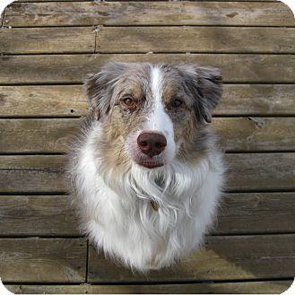 Australian Shepherd Dog for adoption in Elk River, Minnesota - Pheonix