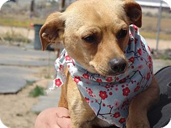 Dachshund Mix Dog for adoption in Apple Valley, California - Oscar & Mayer