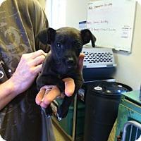 Adopt A Pet :: Jewels - Fair Oaks Ranch, TX
